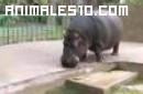 Hipopotamos en el agua