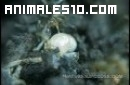 Hormigas cazadoras contra termitas