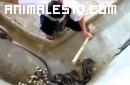 Empleado audaz limpia la jaula de las cobras