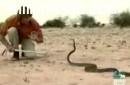 La mamba Negra - Serpiente mas venenosa de Africa