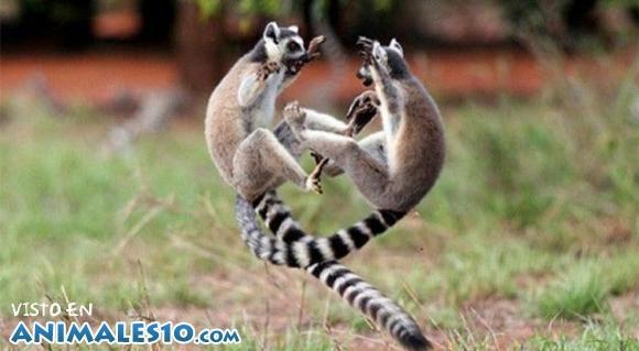 Lemures ninja en plena lucha