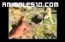 Lobos enfrentados a un puma y un tejon