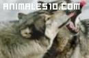 El lobo y su aullido