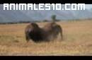 Salvaje lucha entre bisontes