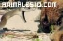 Ataques de mambas negras a leones