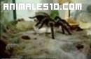 Mantis religiosa contra araña saltarina