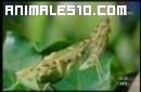 Camaleón atacado por una Mantis religiosa