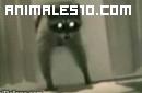 Un atrevido mapache que roba en las casas