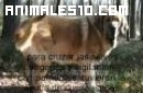 Mastin español, su origen