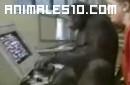 Chimpance juega al Pacman