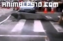 Leon marino cruza la calle