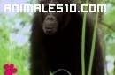 El maravilloso mundo de los Chimpances