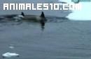 Familia de orcas ataca una morsa en un iceberg