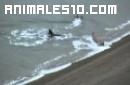 Elfante marino se enfrenta a orcas asesinas