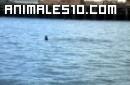 Orcas nadando