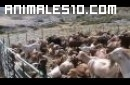 Ordeño de cabras
