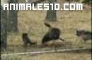 Joven oso grizzly contra lobos