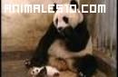 Susto de un oso panda