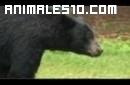Un oso en la barbacoa