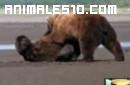 Impresionante batalla de osos Kodiak