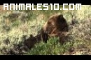 Vida animal, osos contra lobos