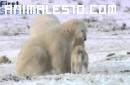 Perros y oso polar jugando
