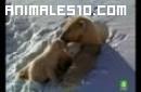 Osos polares crías