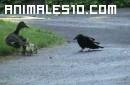 Mama pato proteje sus crias ante un cuervo