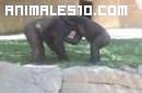 Gorilas enfrentados en el Zoo de San Diego