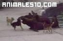 Perros atacando lobos marinos