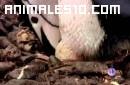 Barbijos, Los pinguinos ladrones