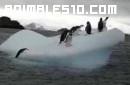 Pinguinos subiendo a un tempano de hielo
