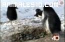 Pinguinos ladrones