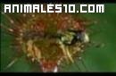 Planta carnivora atarpa insectos