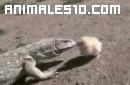 Al lagarto le sale un pollo respondón