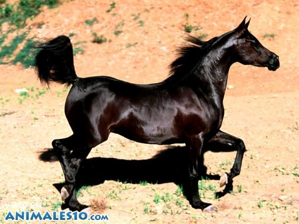 Precioso caballo negro