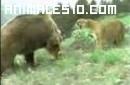 Puma defiende a sus crías