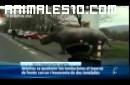 Rinoceronte por la carretera en Alemania