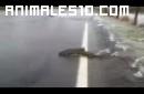 Increible, salmones cruzando una carretera