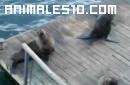 La foca se rie como la mujer, o al reves