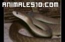 10 serpientes más venenosas del mundo