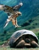 Águila ataca tortuga gigante
