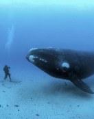 Buzo andando junto a una ballena