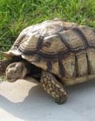 Caparazón de tortuga