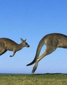 El salto de un canguro