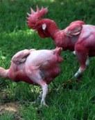 Pollos desplumados geneticamente