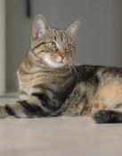 Gato Europeo de pelo corto