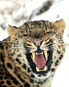 Leopardo gruñendo