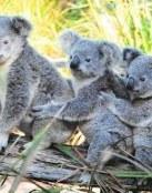 Familia Koalas