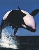 Las orcas salvajes